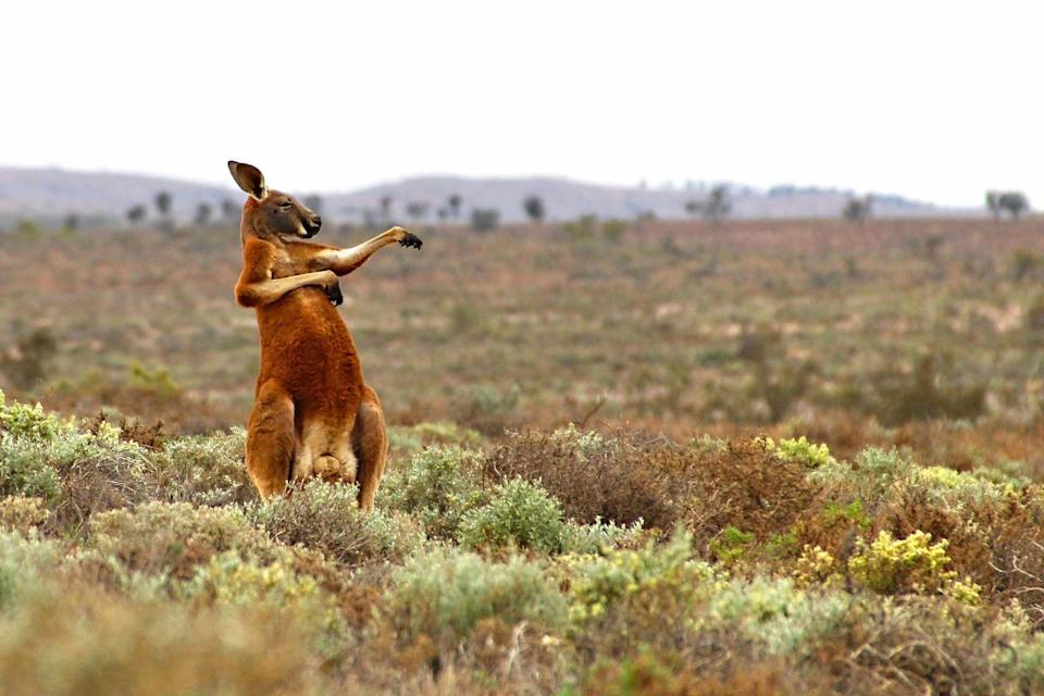 <p>I, like this kangaroo, enjoy starting my day with tai chi. </p>