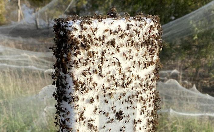 Spiders crawling over a spiderweb-covered post