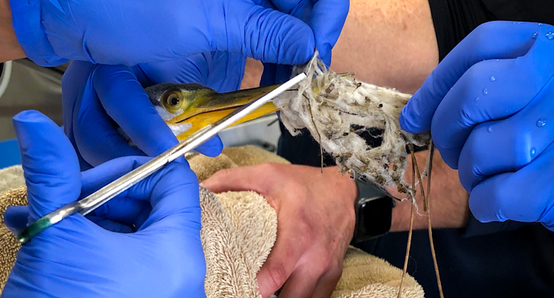 Close up of gloved hands and scissors as vet staff work to remove fabric from the Australasian darter's beak