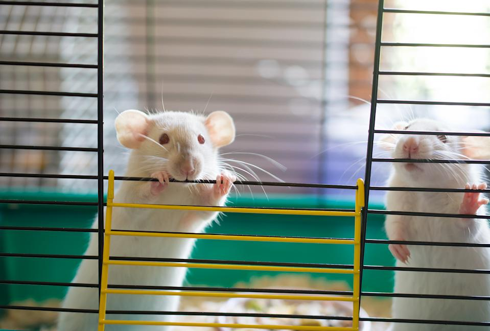 A couple of cute white laboratory rats looking out of a cage (selective focus on one of the rats and its eyes)