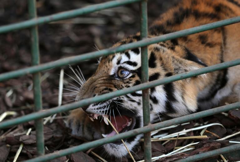 One of three Siberian tigers to be resettled in France growls in a cage at a centre of the Animals Lebanon NGO on June 10, 2017, before they are flown to their new sanctuary