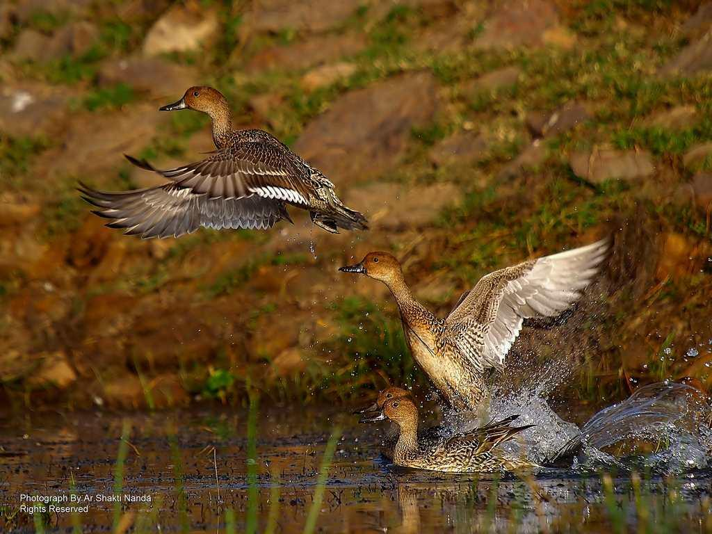 Female Northern Pintails (<em>Anas acuta</em>) take off from the water. These migratory ducks breed in the northern areas of Europe, Asia and North America and spend the winter in the warm tropics where food is rich and plentiful.