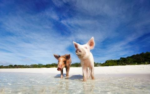 The Bahamas' famous swimming pigs - Credit: iStock