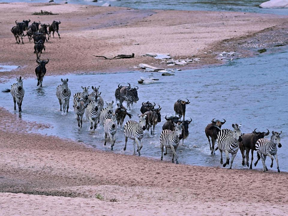 Wildebeests and zebras run across a sandy riverbed of the Sand River as they arrive into Kenya's Maasai Mara National Reserve (Getty)