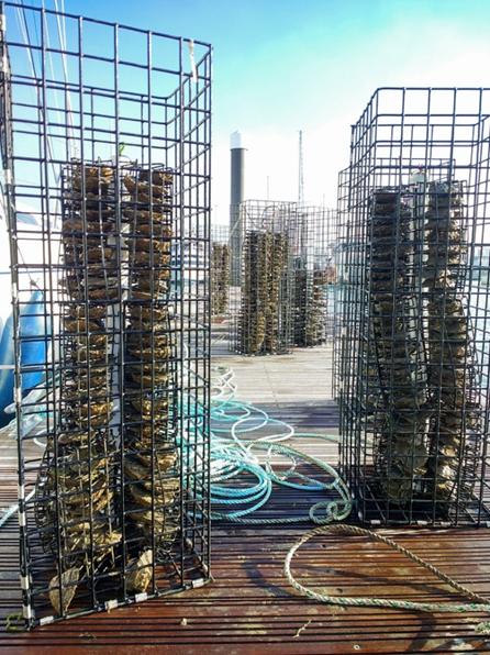 Oyster nurseries will be created to release young into the environment (Blue Marine Foundation/PA)