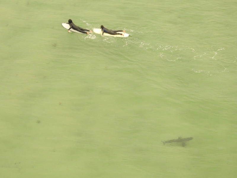 Two surfers swim near a great white shark at Berrara.