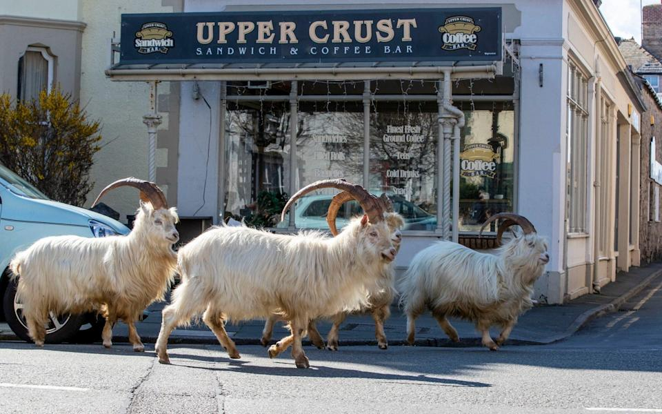 A herd of goats take advantage of quiet streets near Trinity Square, in Llandudno, north Wales - Peter Byrne/PA