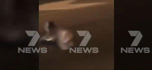 The koala scarpers to the other side safely. Source: 7 News