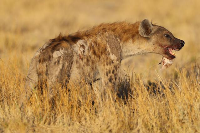 A spotted hyena eats a bird near a waterhole just before sundown near the Namutoni camp in Etosha National Park. (Photo: Gordon Donovan/Yahoo News)