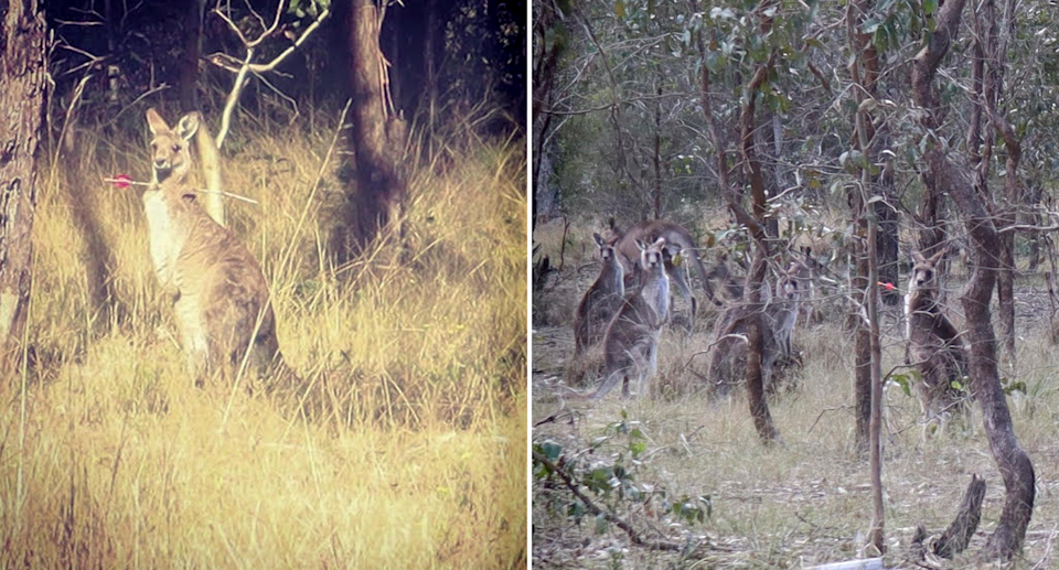 Two images of a kangaroo with an arrow through its neck.