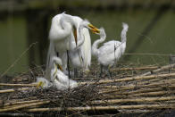 Egrets and their offspring nest on nesting platforms, started in 1895 by E.A. McIlhenney, a member of the McIlhenny family, creators of Tabasco brand pepper sauce, on Avery Island, La., Tuesday, April 27, 2021. The family's conservation history goes back generations to E.A. McIlhenny, who created a rookery in 1892 to save egrets from being exterminated so their delicate mating plumes could bedeck ladies' hats. (AP Photo/Gerald Herbert)