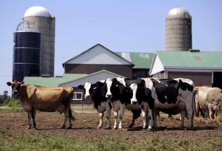 FILE PHOTO - Dairy cows stand in a field near Stayner