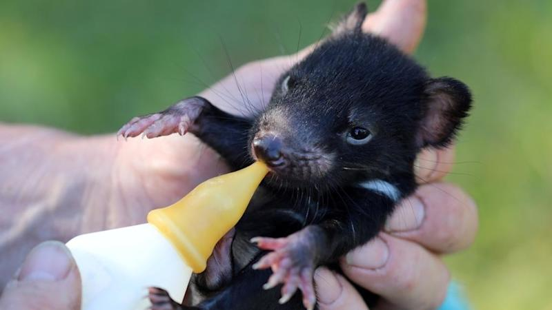 After 3,000 years, Tasmanian devils are back on Australia's mainland