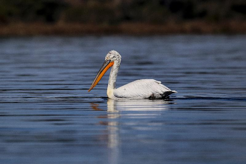 The Dalmatian pelican (Pelecanus crispus) is on the International Union for Conservation of Nature red list of threatened species (AFP Photo/Gent SHKULLAKU)
