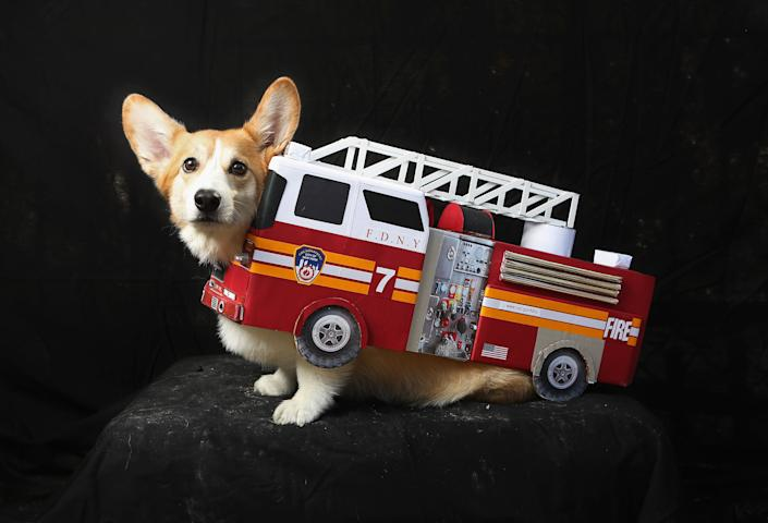Harry, a corgi, poses as a fire truck at the Tompkins Square Halloween Dog Parade. (Photo by John Moore/Getty Images)