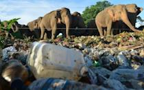 Electric fences have not stopped elephants from searching rubbish dumps for food