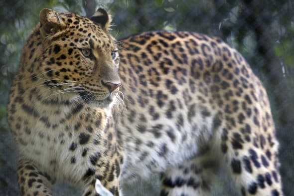 Man-eating leopard preying on drunk villagers walking home from booze sessions