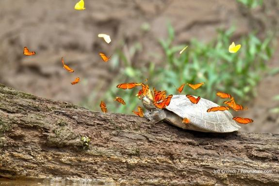 Butterflies in the Amazon have been observed flocking onto the heads of turtles to drink their tears, which provide the animals with a vital source of the mineral sodium.