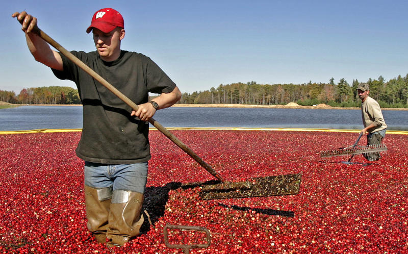 FILE - In a Friday, Oct. 14, 2005 file photo, Jacob Ryan, left, and Trent Lueck use rakes to harvest cranberries, in Pittsville, Wis.   Wisconsin is the nation's leading cranberry-producing state. A cranberry festival the same weekend as the Ryder Cup in Wisconsin was recently canceled because of the COVID-19 pandemic.A decision is looming whether to play the Ryder Cup in Wisconsin in September 2020 with fans or even postpone it until next year.  (AP Photo/Morry Gash, File)