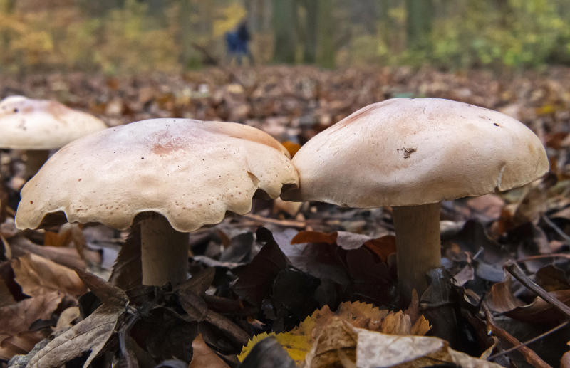 People walk behind mushrooms in the National Park Hainich near Bad Langensalza, Germany, Friday, Nov. 15, 2019. Weatherforecast prophetes changeable autumnal weather conditions in Germany for the upcoming days. (AP Photo/Jens Meyer)