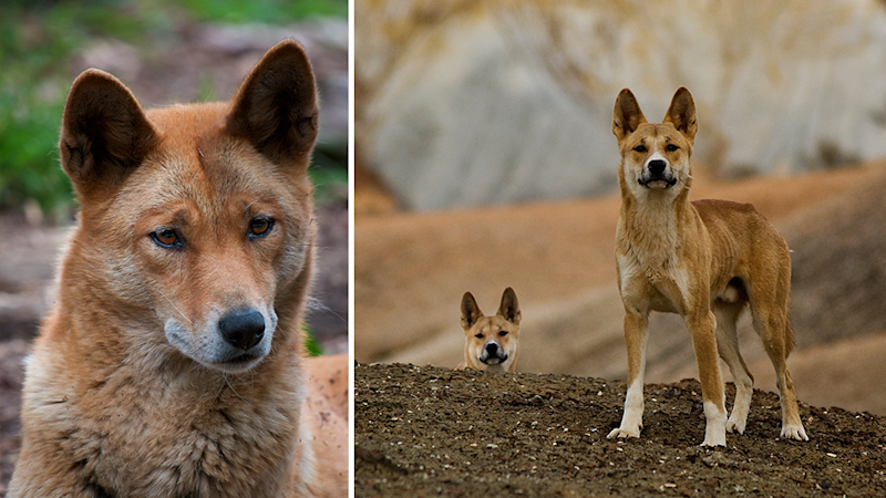 Split screen. Left - an alpine dingo. Right - a desert dingo.