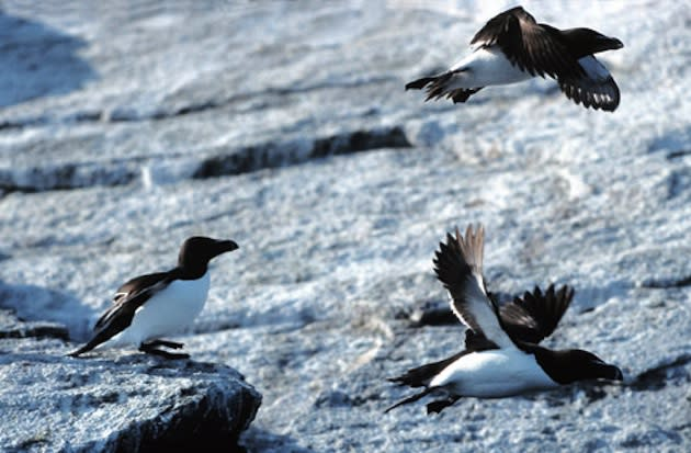 Razorbill Auks in the wild, unlike the ones in the Archmere Academy gym — Wikipedia