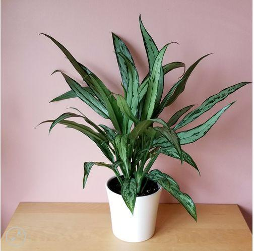 "It's air purifying, easy to take care of, and doesn't need a lot of light. Not to mention, it's freaking gorgeous. Get it <a href=""https://interiorplants.ca/product/aglaonema-cutlass/"" target=""_blank"" rel=""noopener noreferrer"">at Interior Plants</a> for $35."