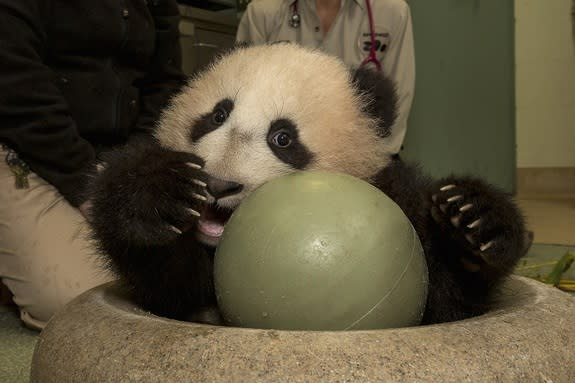 The baby panda during his exam on Dec. 27, 2012