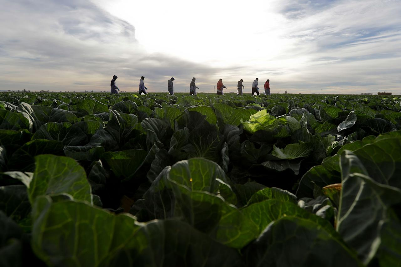 <p>Farmworkers walk through a field of cabbage during harvest outside of Calexico, Calif., March 6, 2018. (Photo: Gregory Bull/AP) </p>