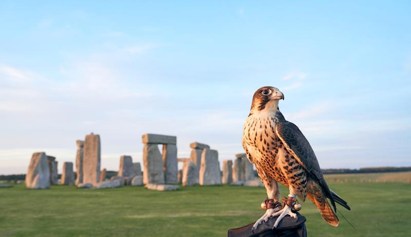 A peregrine falcon will be one of the birds on display at Stonehenge this bank holiday weekend (English Heritage/PA).