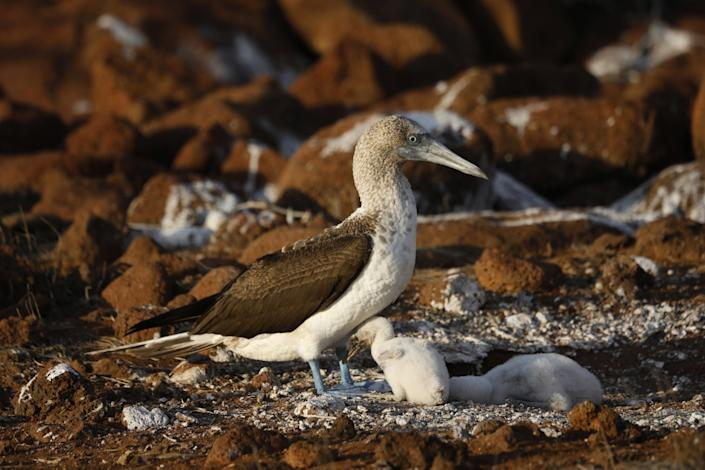 A blue-footed booby tends to her chicks on North Seymour Island in the Galapagos.