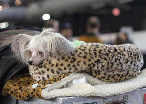"<div class=""caption-credit"">Photo by: Laura Cross, Vetstreet</div><div class=""caption-title""></div>After a long day in the ring, a <a rel=""nofollow"" target="""" href=""http://www.vetstreet.com/dogs/chinese-crested?WT.mc_id=cc_yahoo"">Chinese Crested</a> prepares to take a well-deserved nap."