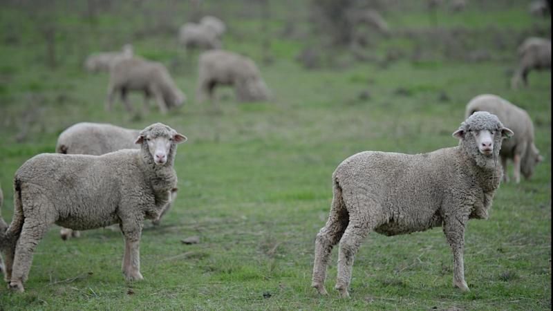 Sheep shortage helps record Ruralco profit