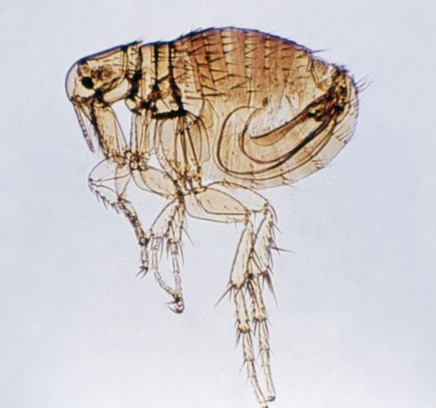 Plague can be transmitted to humans from direct contact with infected animals or if a person is bitten by an infected flea. (Photo: Callista Images via Getty Images)