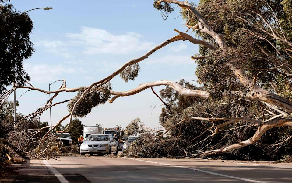 A car drives under a tree toppled by wind in Ventura, California, on January 19, 2021. The tree injured two when it landed on a passing vehicle along highway 126.