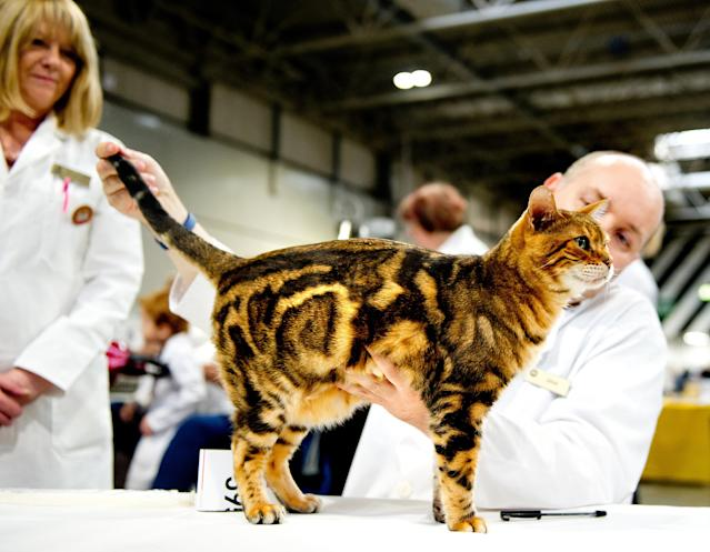 <p>A cat participates in the GCCF Supreme Cat Show at National Exhibition Centre on October 28, 2017 in Birmingham, England.(Photo: Shirlaine Forrest/WireImage) </p>