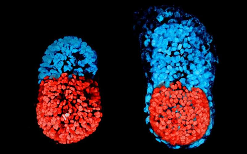 Artificial mouse embryos grow in the lab - Cambridge University