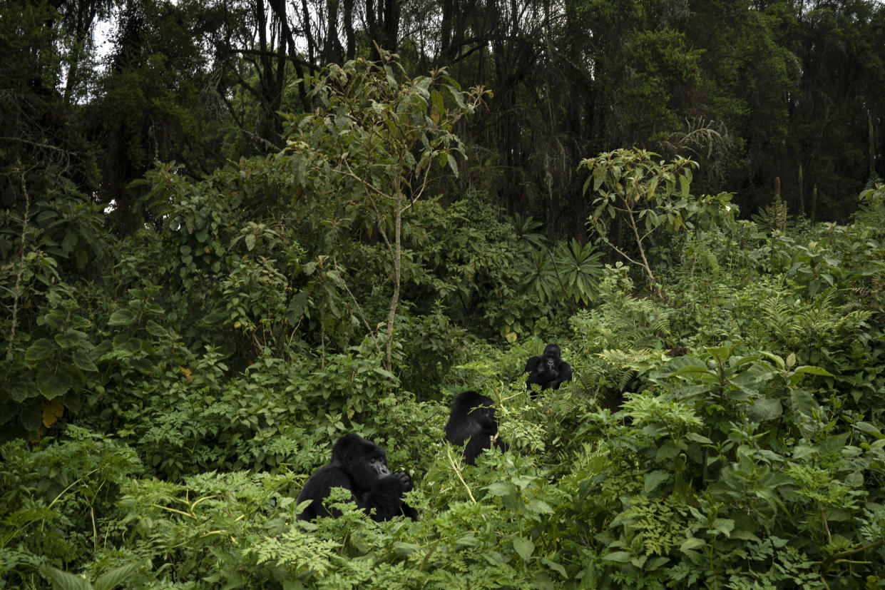 Urwibutso, Segasira and Pato, three silverback mountain gorillas, eat plants in Volcanoes National Park, Rwanda. (Photo: Felipe Dana/AP)