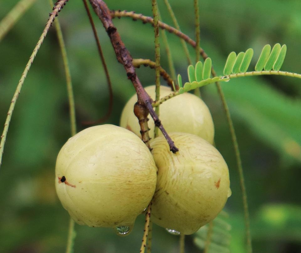 The Amla tree is native to tropical Southeastern Asia and can be found in different regions of India, Sri Lanka, Pakistan, Malaysia, and the Mascarene Islands