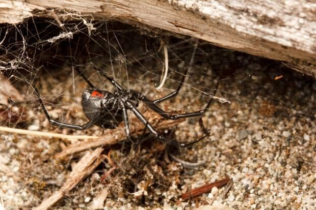 The Friends of Island View Beach Society on Vancouver Island is concerned that black widow spiders are losing habitat when people rearrange or remove driftwood on a beach.