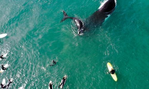Close encounter: mother and calf whales stun surfers at Sydney's Manly beach