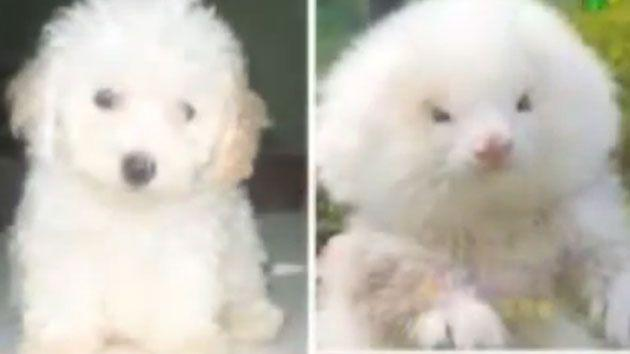 Bargain hunters in Argentina have been sold ferrets pumped with steroids and groomed to look like toy poodles and Chiuhuahuas.Photo: YouTube.