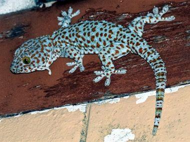 Geckos imperiled as demand from China drives brisk illegal trade in Northeast India