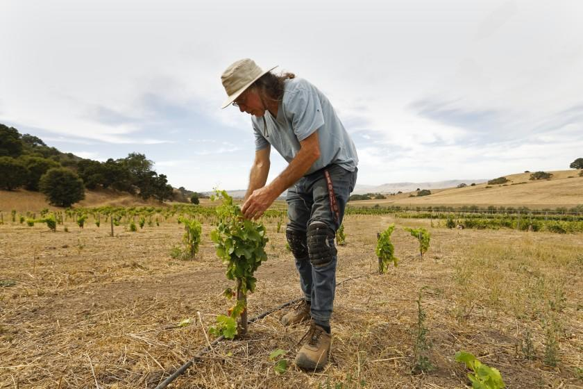 """Randall Grahm, founder of Bonny Doon Vineyard, tends to young grenache noir vines. As the Earth continues to heat up and water tables decrease, he says, hearty varieties of grapes will be important. <span class=""""copyright"""">(Carolyn Cole / Los Angeles Times)</span>"""