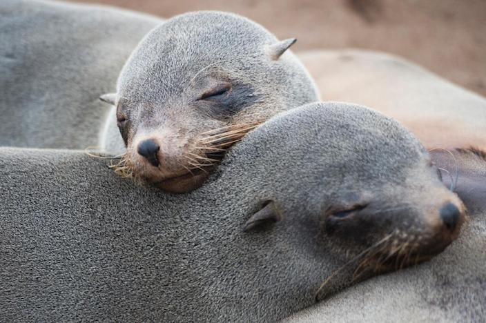 Seals fitted with sensors on their heads are helping scientists explore the oceans (AFP Photo/Martin Bureau)