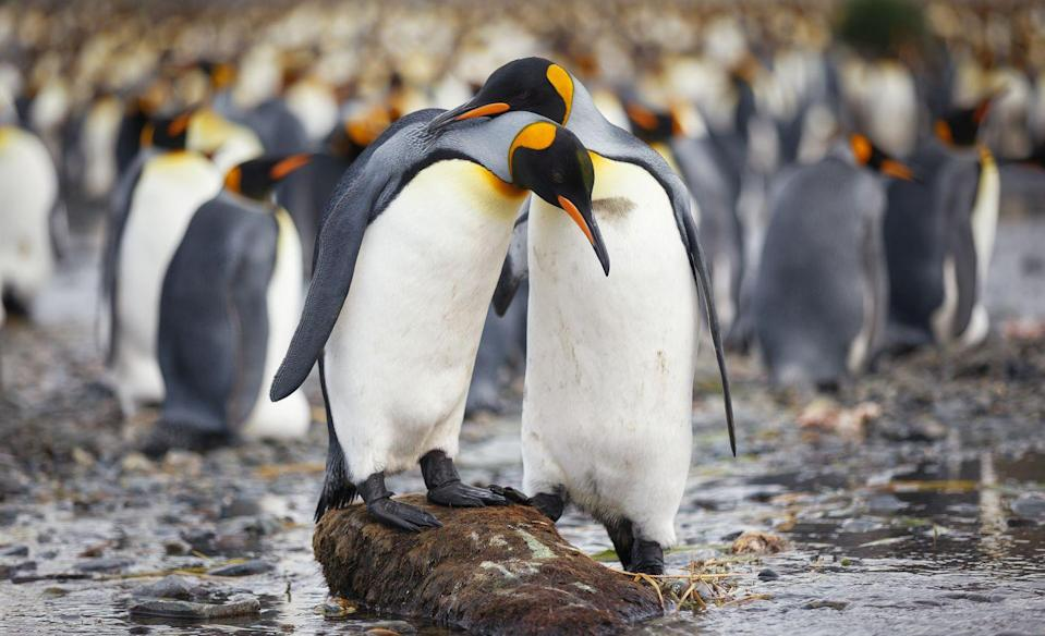 """<p>King <a href=""""https://www.countryliving.com/uk/wildlife/countryside/a24268815/cute-penguins-school-trip-antarctica-funny-video/"""" rel=""""nofollow noopener"""" target=""""_blank"""" data-ylk=""""slk:penguins"""" class=""""link rapid-noclick-resp"""">penguins</a> are the star of this live stream over in Kansas. Not sure how to spend your lunch break? Well, now you do...</p><p><a class=""""link rapid-noclick-resp"""" href=""""https://www.kansascityzoo.org/ouranimals/list-of-animals/king-penguin/"""" rel=""""nofollow noopener"""" target=""""_blank"""" data-ylk=""""slk:WATCH NOW"""">WATCH NOW</a> </p>"""