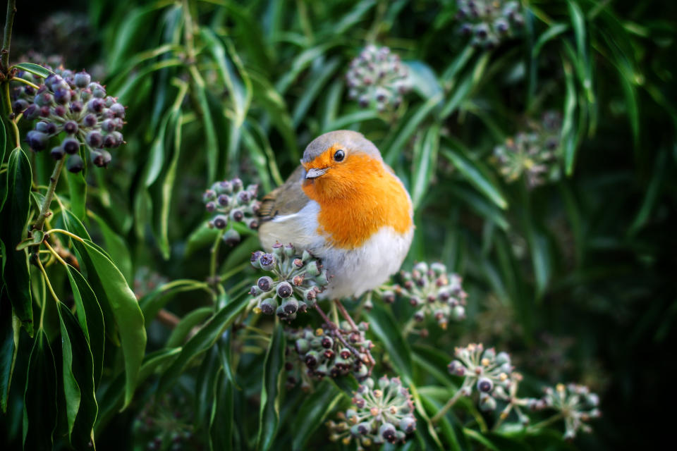 winter garden jobs: robin in garden