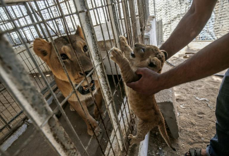Wildlife campaigners say the animals urgently need medical attention and proper food (AFP Photo/SAID KHATIB)