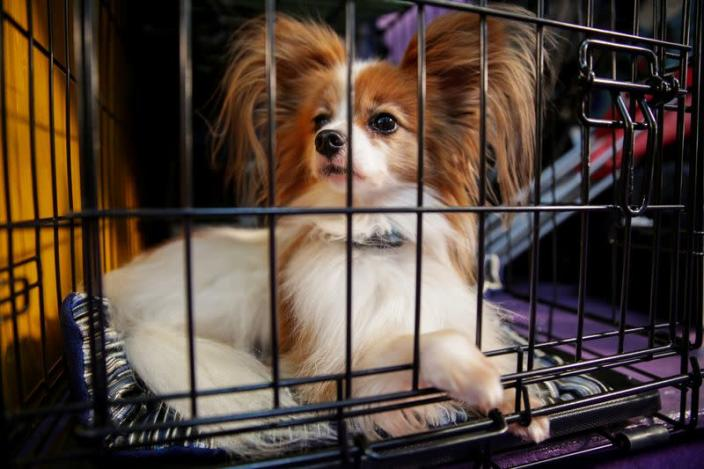 A dog sits in a cage ahead of the Masters Agility Championship during the Westminster Kennel Club Dog Show in New York