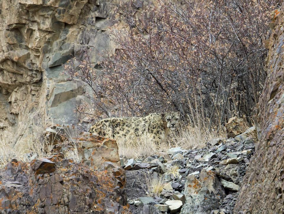 The Snow Leopard is seen lurking in Ladakh, India (Picture: Inger Vandyke/Caters News)